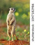 the meerkat or suricate ... | Shutterstock . vector #1047182986