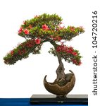 Red Flower Of A Azalea Bonsai...