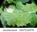 Small photo of Leaf of Oilseed Rape (Brassica napus) damaged by cabbage leaf miner Fly of (Phytomyza rufipes) (Diptera, Agromyzidae: leaf-miner flies). It is pest of Brassicaceae e.g mustard, rapeseed, cabbage.
