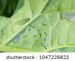 rapeseed leaf damaged by...   Shutterstock . vector #1047228823