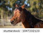 beautiful brown mare running in ...   Shutterstock . vector #1047232123