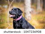black labrador retriever... | Shutterstock . vector #1047236908