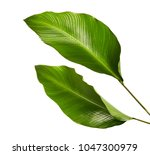 calathea foliage  exotic... | Shutterstock . vector #1047300979