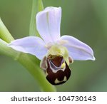 Bee Orchid  Ophrys Apifera  ...