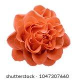 red rose flower on a white...   Shutterstock . vector #1047307660