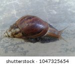 Small photo of Achatina fulica, Snail walking on floor