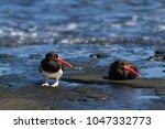 american pied oystercatcher ... | Shutterstock . vector #1047332773