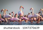 a flamboyance of greater... | Shutterstock . vector #1047370639