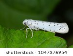 yponomeuta or formerly... | Shutterstock . vector #1047376954