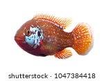 Small photo of African jewelfish isolated