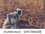 gray langur also known as... | Shutterstock . vector #1047386608
