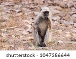 gray langur also known as... | Shutterstock . vector #1047386644
