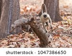 gray langur also known as... | Shutterstock . vector #1047386650