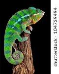 A Ambilobe Panther Chameleon...