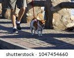 Stock photo man walking his dog on paving sidewalk 1047454660
