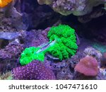Green Sea Mushroom That Mount...