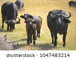 wild big buffalo | Shutterstock . vector #1047483214