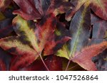 Small photo of Autumn or fall Leaves of the Downy Japanese maple (Acer japonicum).