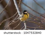 curious great tit looking at... | Shutterstock . vector #1047532840