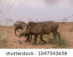 warthog with family in south... | Shutterstock . vector #1047543658