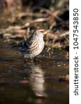 Small photo of Common redpoll (Acanthis flammea) at an ice hole in Lage Vuusche (the Netherlands)
