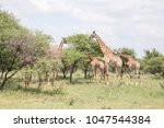 giraffe herd in africa bush... | Shutterstock . vector #1047544384