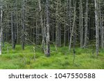 scary fairy forest in the swamp....   Shutterstock . vector #1047550588