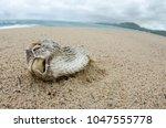 dead fish stranded on the beach ... | Shutterstock . vector #1047555778