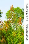 Small photo of Acrostichum speciosum, the golden leather fern, grows in mangrove swamps and other wet locations. Other common names include swamp fern and mangrove fern.