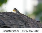 anolis lizard  mexico. | Shutterstock . vector #1047557080
