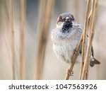 male house sparrow  passer... | Shutterstock . vector #1047563926