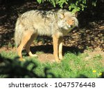 Coyote Winking Eye In The Sun