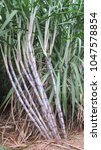 Small photo of Groups of sugarcane plants (Saccharum officinarum) on field.