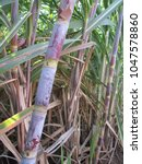 Small photo of Sugarcane (Saccharum officinarum) showing its nodes and internodes.