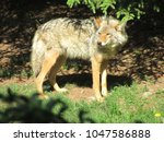 Coyote Standing In The Sun...