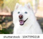 a fluffy purebred samoyed dog... | Shutterstock . vector #1047590218