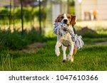 Stock photo dog run beagle jumping fun in the garden summer sun with a toy 1047610366