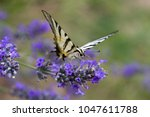 Small photo of Closeup image of a Scarce Swallowtail (Iphidides podalirius) Butterfly