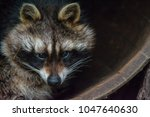 A raccoon sitting in a barrel.  ...