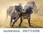 african buffalo fighting ... | Shutterstock . vector #1047711058