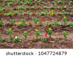 beautiful flowers in  planted...   Shutterstock . vector #1047724879