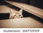 Stock photo ginger cat is playing in the box 1047729559