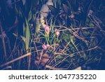 blooming violet crocus flowers  ...   Shutterstock . vector #1047735220