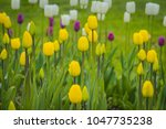 bright tulips blooming  spring... | Shutterstock . vector #1047735238