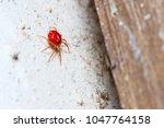 anystidae sp. predatory mite... | Shutterstock . vector #1047764158