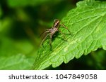 Small photo of Macro side view of the brown-gray wolf-spider Arachnida with long paws with hairs sitting on the green leaf of the nettle Lamium album in the foothills of the Caucasus