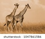 Giraffe couple walking