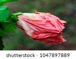 Hibiscus Wax Mallow Blosso...