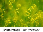 Small photo of Yellow Brassicaceae flowers