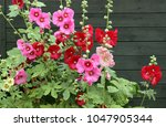 Stock photo alcea rosea common hollyhock is an ornamental plant in the malvaceae family blooming plants on 1047905344